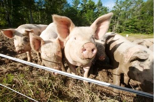 Swine-Syringe-System-ThaMa-Vet